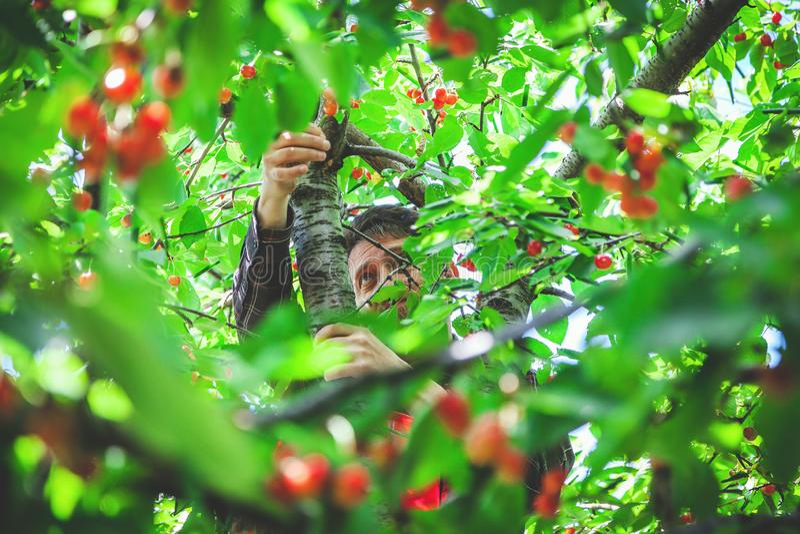 Mann auf dem Baum, der rote Kirsche erntet stockbilder