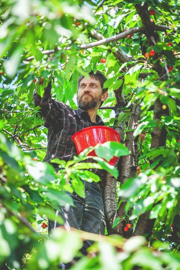 Mann auf dem Baum, der rote Kirsche erntet lizenzfreie stockbilder