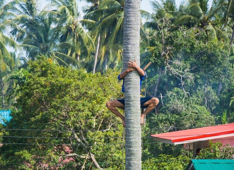 Mann, der bis zu einer Palme für Erntekokosnuß klettert Sammelnkokosn?sse stockbild