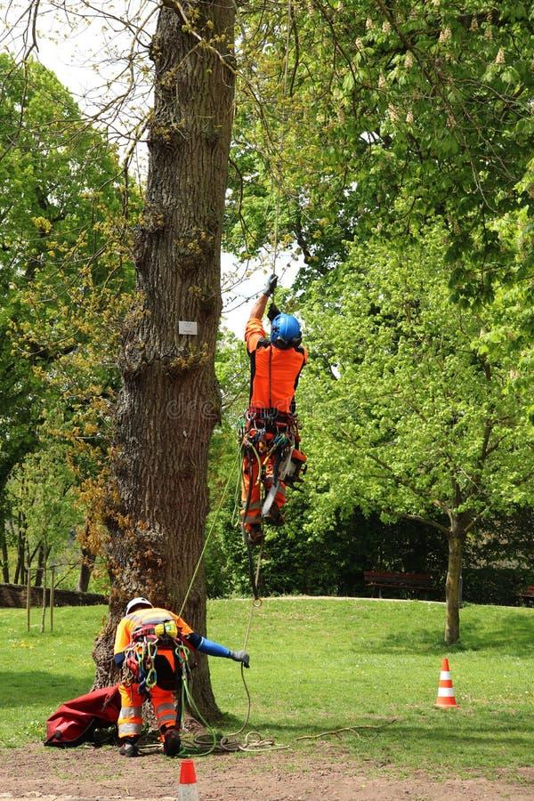 Mann, der einen Baum klettert, um an ihm in Deutschland zu arbeiten lizenzfreie stockfotos
