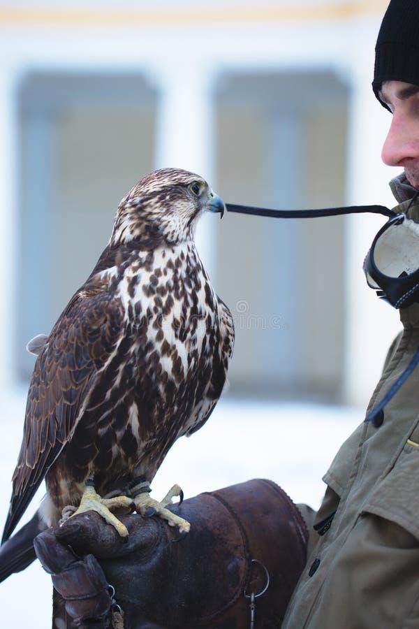 Mann, der einen Falken auf seinem Arm hält lizenzfreies stockfoto
