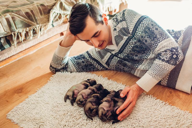 Mann, der f?nf Pughundewelpen zu Hause schlafen auf Teppich z?hlt Wenig Welpen, die zusammen auf ihren R?ckseiten liegen stockbild