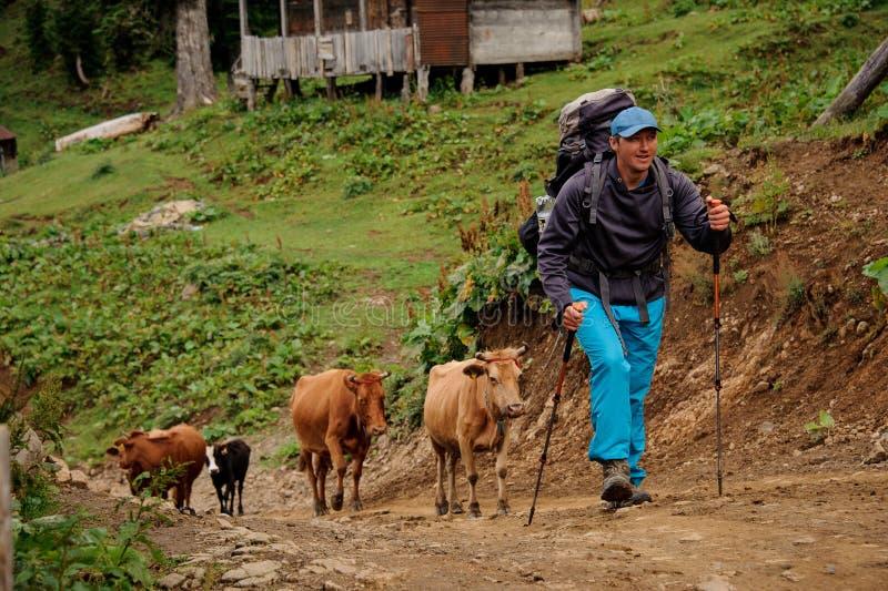 Mann, der herauf den Hügel mit dem Wandern des Rucksacks und der Stöcke mit Herde von Kühen geht lizenzfreie stockbilder