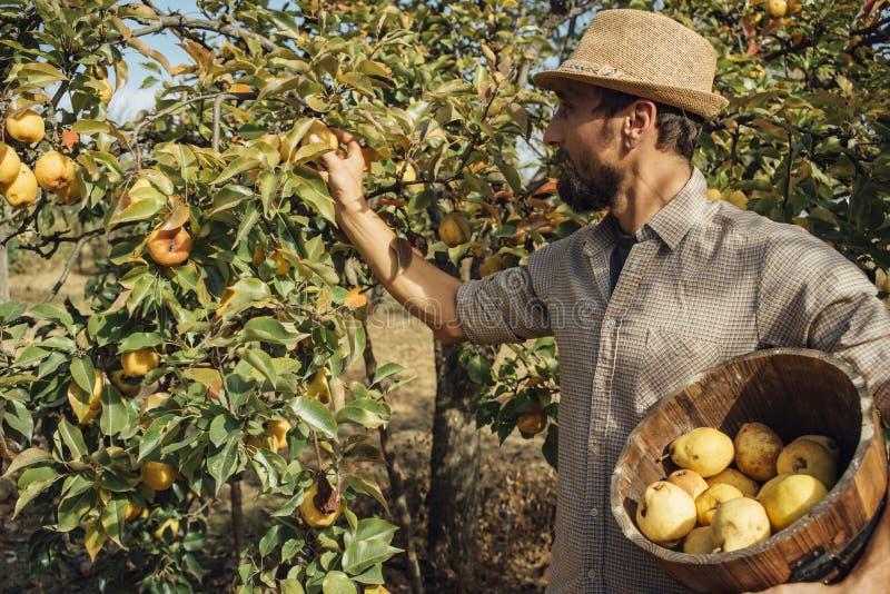 Mann, der organische gelbe Birnen auswählt stockfotografie