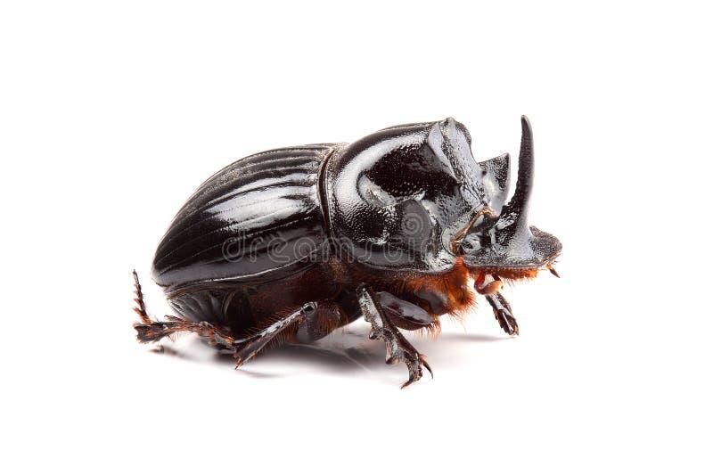 Mann des Käfers (Copris-lunaris) lokalisiert auf Weiß lizenzfreies stockbild