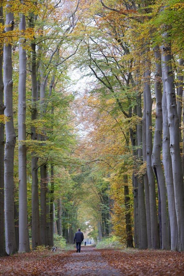 Mann geht Hund auf Waldweg im Herbst zwischen Buchenbäume I stockfotos