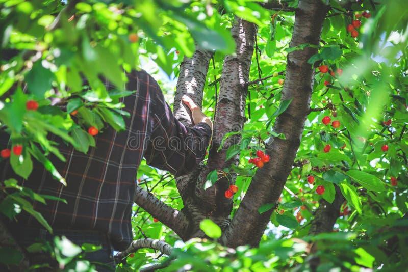 Mann hält auf Niederlassung auf Kirschbaum lizenzfreie stockfotografie