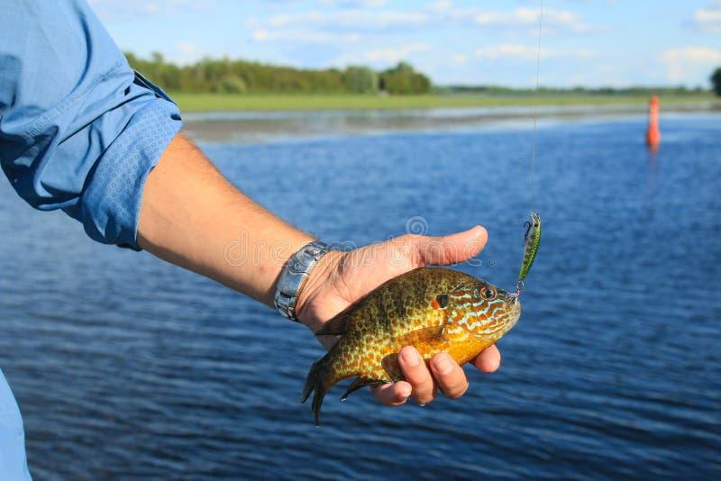 Mann hält Sunfish gefangen, einen Crankbait-Köder fischend stockfotos