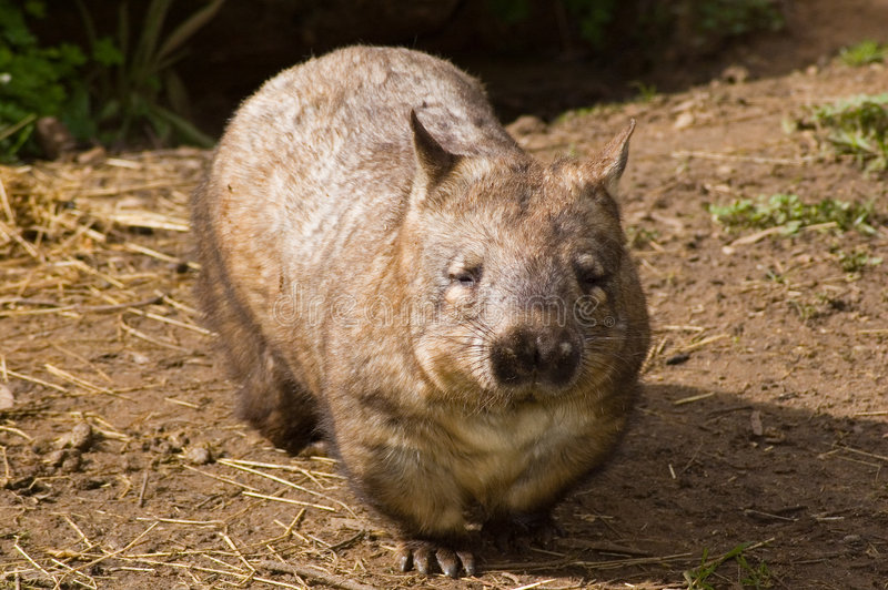 Mann Haarig-Roch Wombat lizenzfreies stockbild