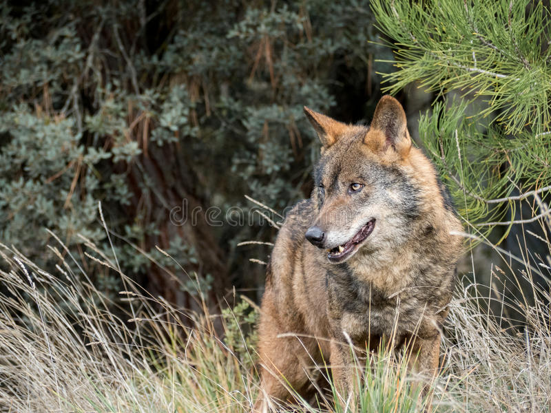 Mann iberischen Wolf Canis Lupus signatus lizenzfreies stockfoto