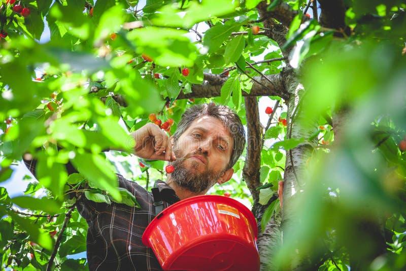Mann im Baum, der rote Kirsche erntet stockfotos