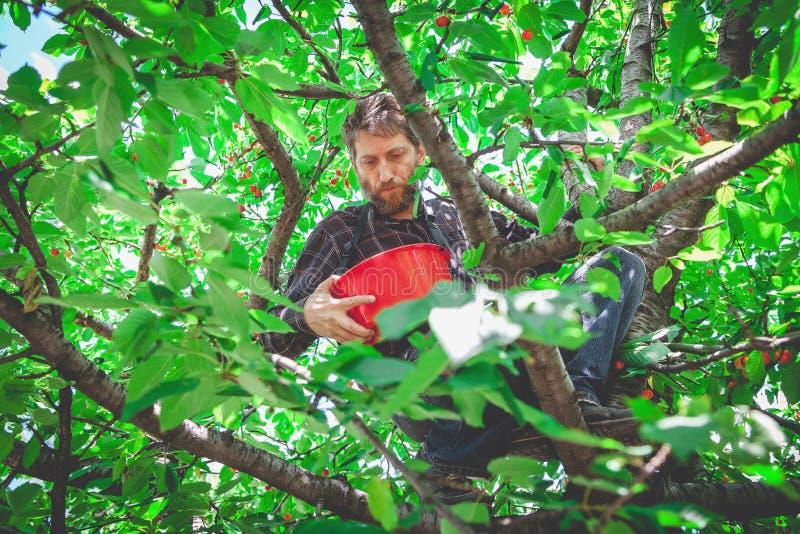 Mann im Baum, der rote Kirsche erntet lizenzfreies stockbild