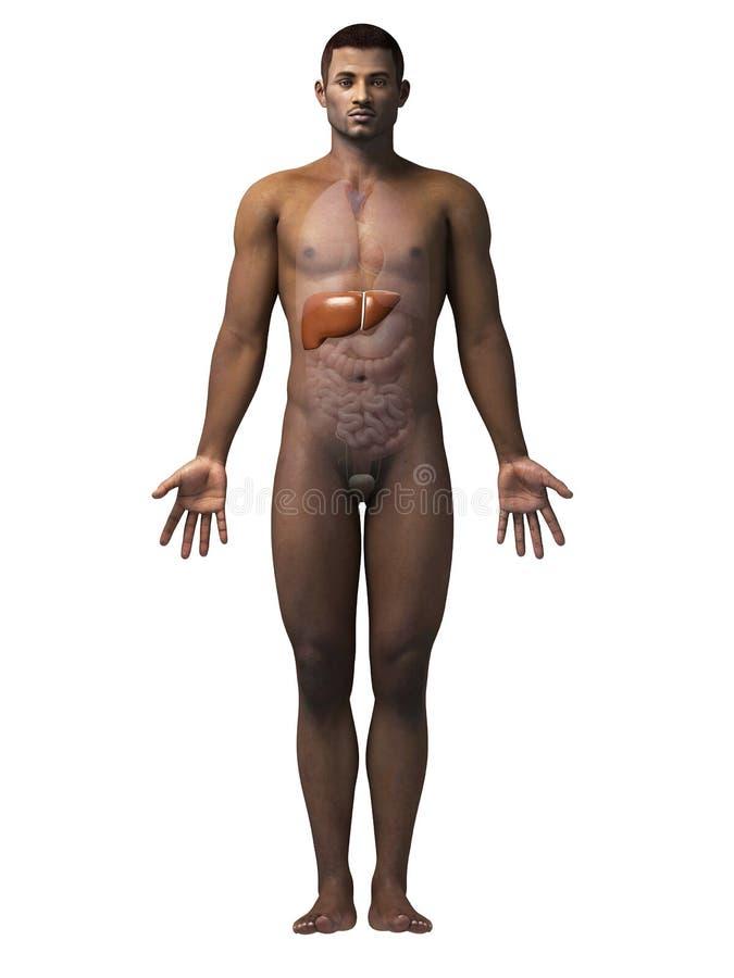Mann - Leber stock abbildung. Illustration von anatomie - 38864134