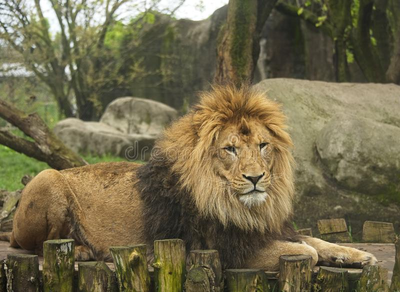 Mann Lion Poses am Indianapolis-Zoo stockfotografie