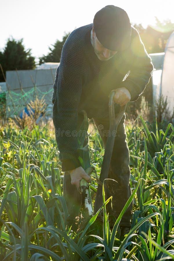 Mann mit Pitchfork zieht reifen Porree vom Boden lizenzfreie stockfotos