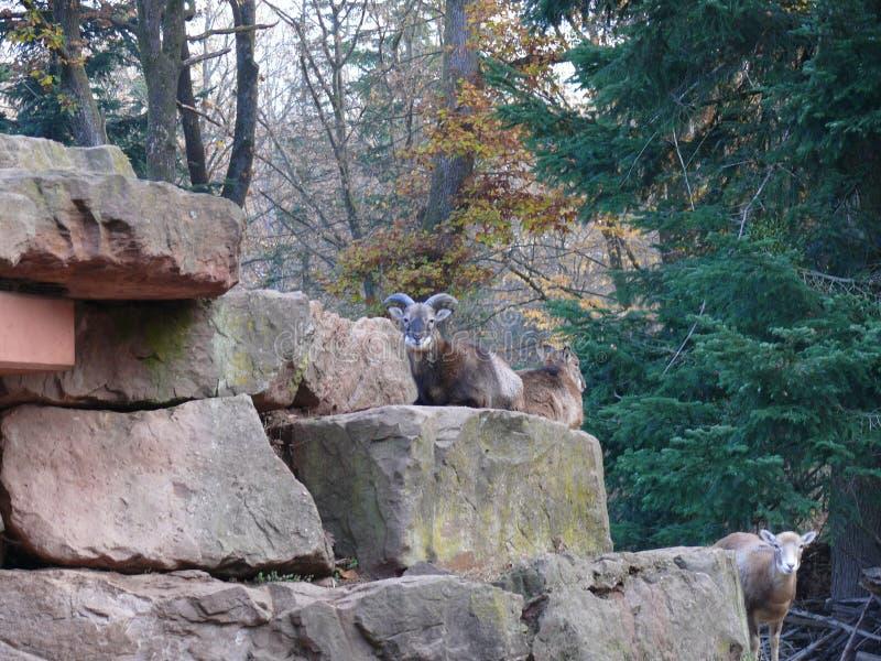 Mann Muflon auf einem Felsen stockbilder