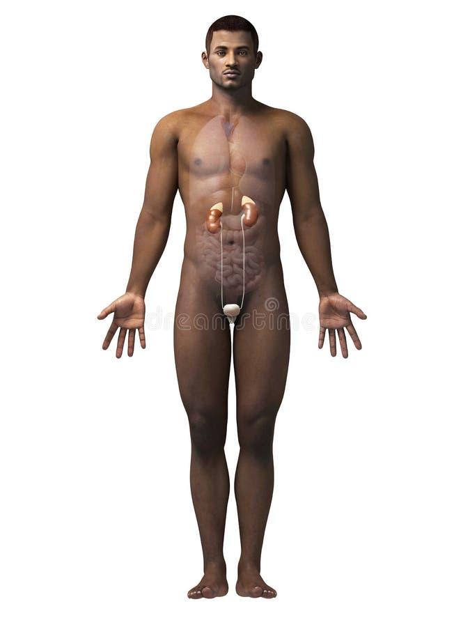 Mann - Nieren stock abbildung. Illustration von ureter - 38864181
