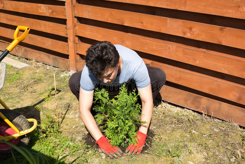 Mann pflanzt Thuja in einem Garten stockbild