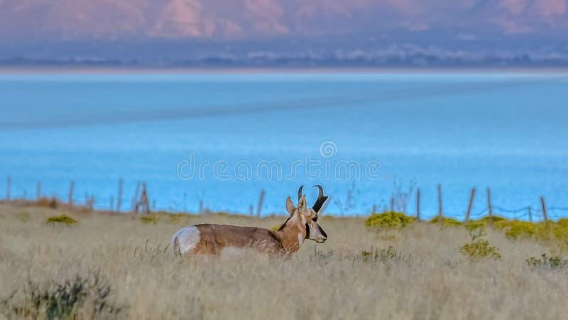 Mann Pronghorn gegen Utah See und Berg lizenzfreies stockbild