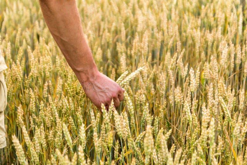 Mann ` s Hand, die Gerste h?lt landwirtschaft Sonnenuntergang Landwirt, der seine Ernte mit der Hand auf einem goldenen Weizengeb stockbild