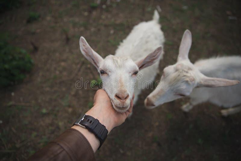 Mann streichelt eine weiße Ziege auf einem Bauernhof lizenzfreie stockfotografie