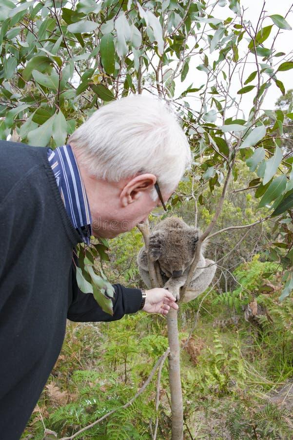 Mann streicht den Koala-Bären, der im Baum schläft stockfotos