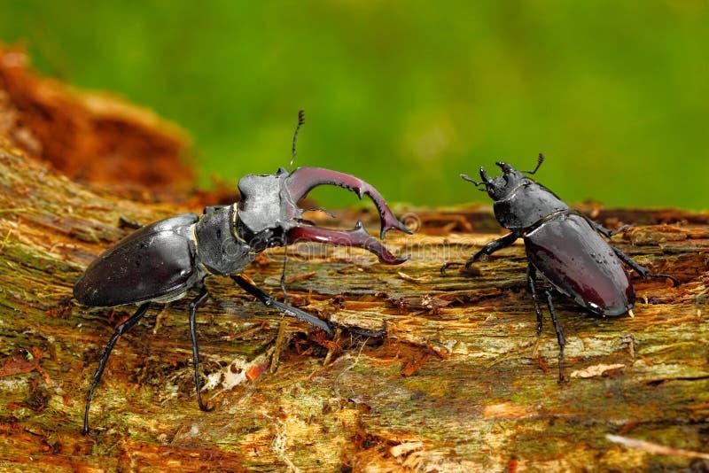 Mann und famale des Insekts Hirschkäfer, Lucanus-Cervus, großes Insekt im Naturlebensraum, alter Baumstamm, orange Hintergrund de lizenzfreies stockfoto