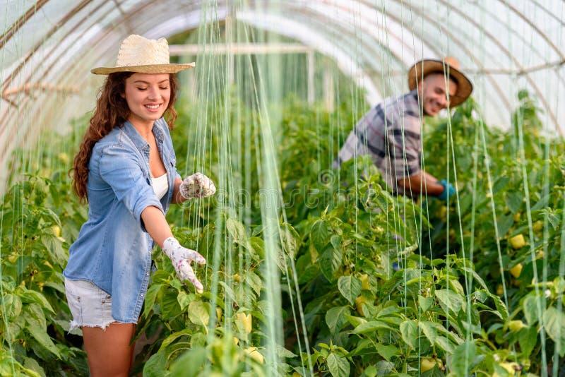 Mann und Frau, die organisches Gemüse am Gewächshaus wachsen stockbilder