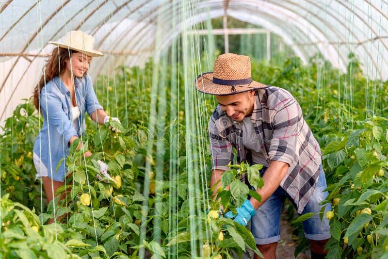 Mann und Frau, die organisches Gemüse am Gewächshaus wachsen lizenzfreie stockfotos