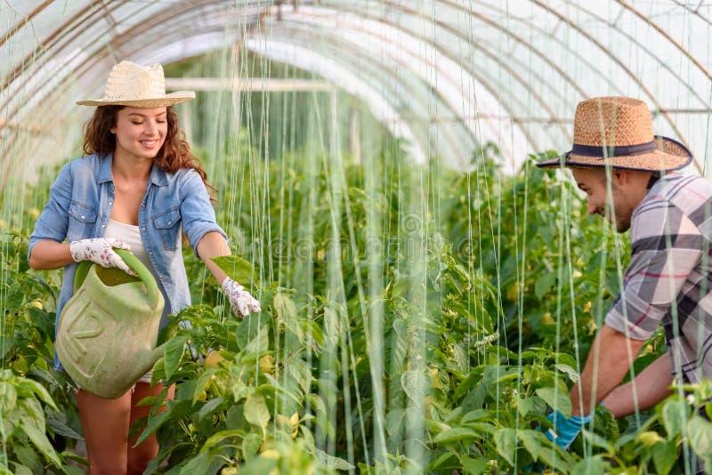 Mann und Frau, die organisches Gemüse am Gewächshaus wachsen lizenzfreie stockfotografie