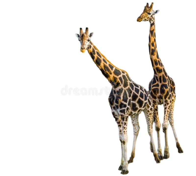 Mann und weibliche Giraffe zusammen lokalisiert auf einem weißen Hintergrund, populäre Zootiere, gefährdeter Tierspecie von Afrik stockfotos