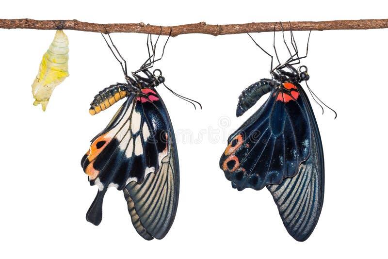 Mann und weibliche große Mormone Papilio-memnon Schmetterlinge stockbilder