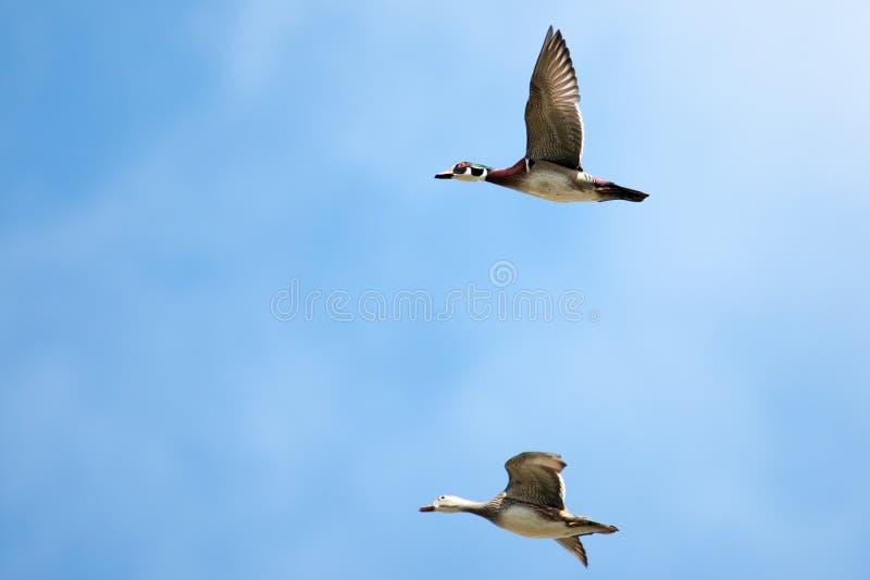 Mann und weibliche hölzerne Enten im Flug stockfotos