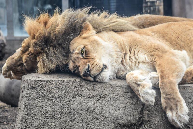Mann und weibliche Löwen, die auf einem Felsen niederlegen lizenzfreies stockbild
