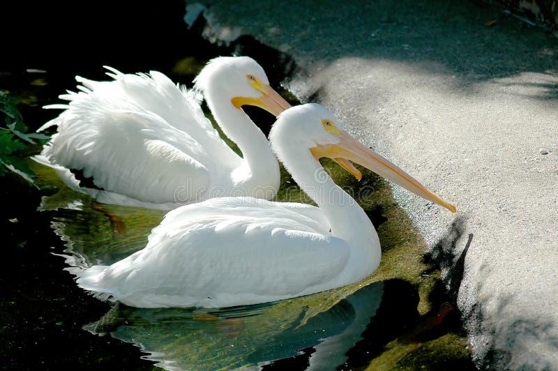 Mann und weiblicher Pelikan stockfotos