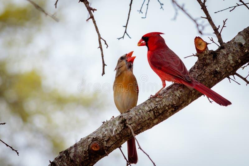 Mann und weibliches hauptsächliches Birds auf einem Glied lizenzfreie stockfotografie