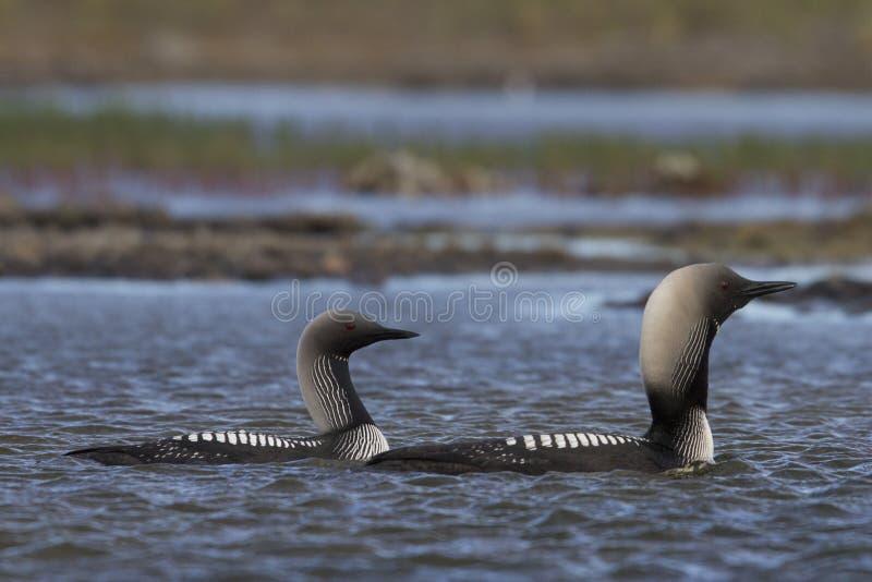 Mann und weibliches pazifisches Idiot- oder pazifisches Taucher-Gavia-pacifica in der Sommerkleidschwimmen im arktischen Wasser stockfoto