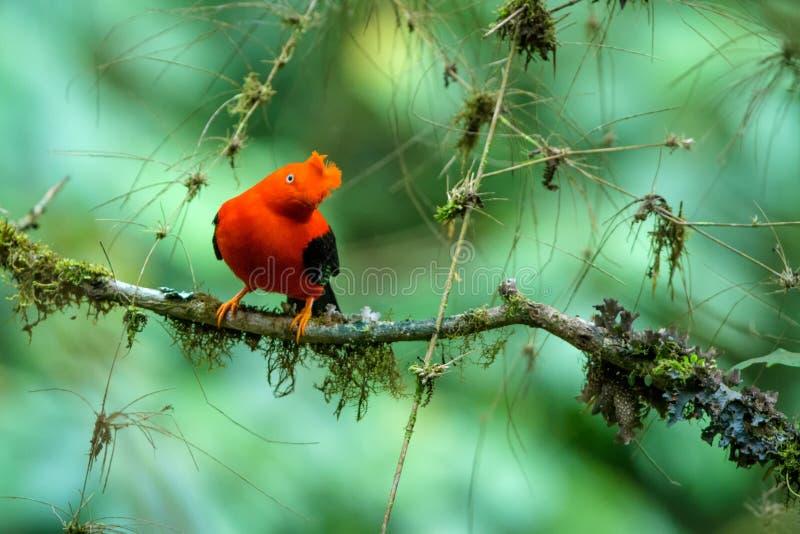 Mann von Andenklippenvogel Rupicola peruvianus, das vor Frauen, typisches fügendes Verhalten lekking und dyplaing ist lizenzfreies stockfoto