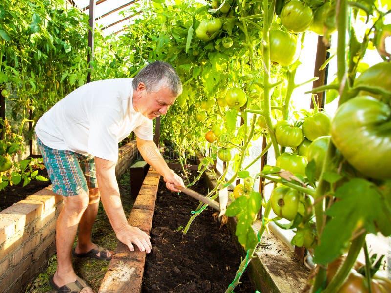 Mann wächst Ernte im Treibhaus stockbilder