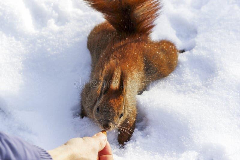 Mann zieht ein Eichhörnchen in einem Winterpark ein stockfoto