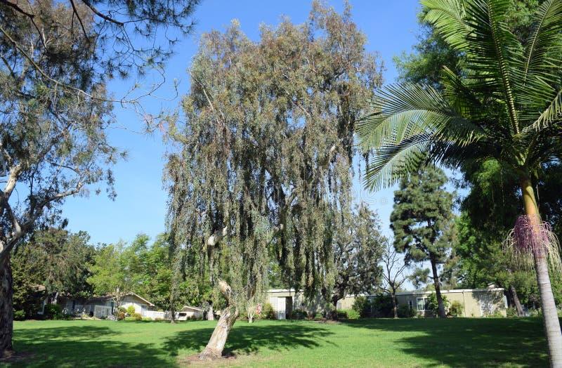 Manna Gum Eucalyptus-boom in Laguna Hout, Californië royalty-vrije stock foto's