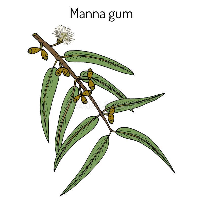 Manna oder Band oder weiße Gummi Eukalyptus viminalis, Heilpflanze lizenzfreie abbildung