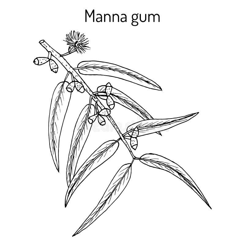 Manna oder Band oder wei?e Gummi Eukalyptus viminalis, Heilpflanze vektor abbildung