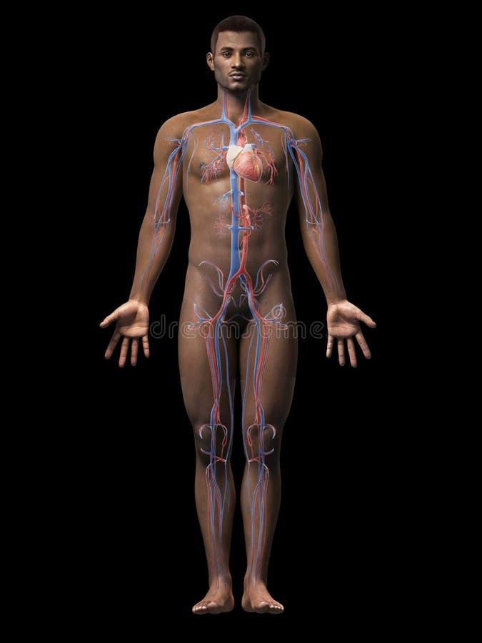 Mannanatomie - Gefäßsystem stock abbildung