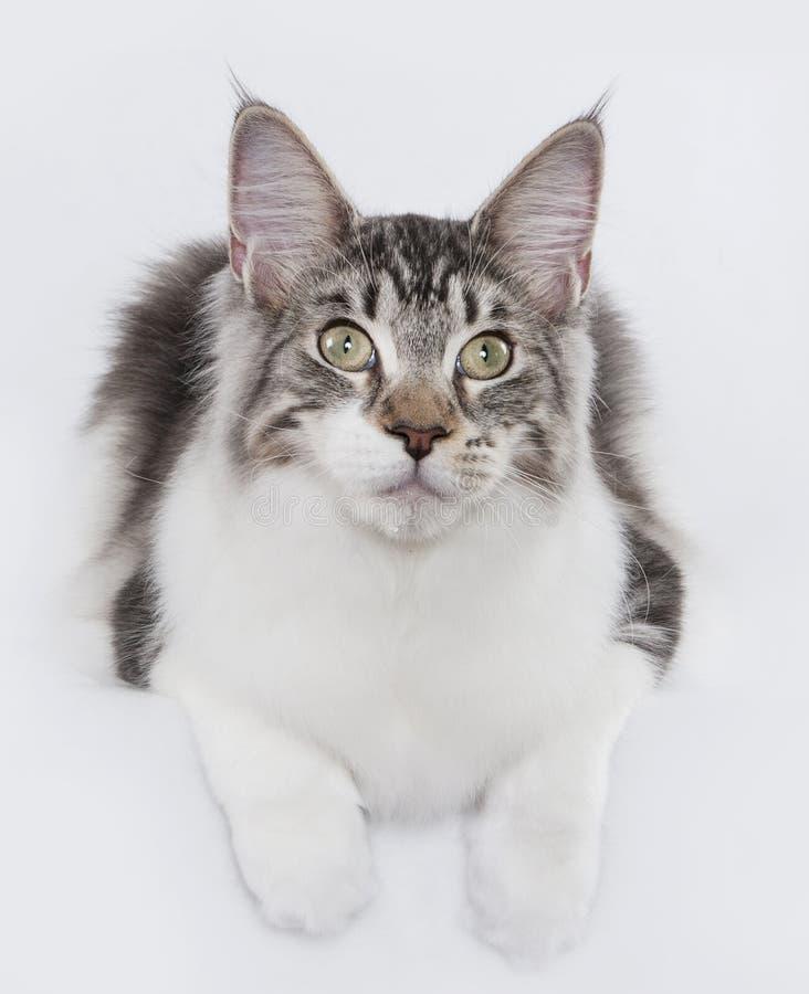 Manne Coon Silver Tabby Cat imágenes de archivo libres de regalías