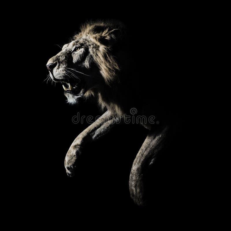 Mannelijk Afrikaans Lion Profile Running royalty-vrije stock fotografie