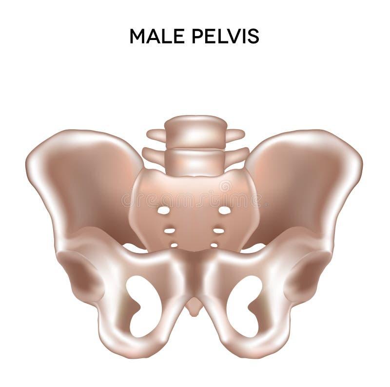 Mannelijk bekken vector illustratie