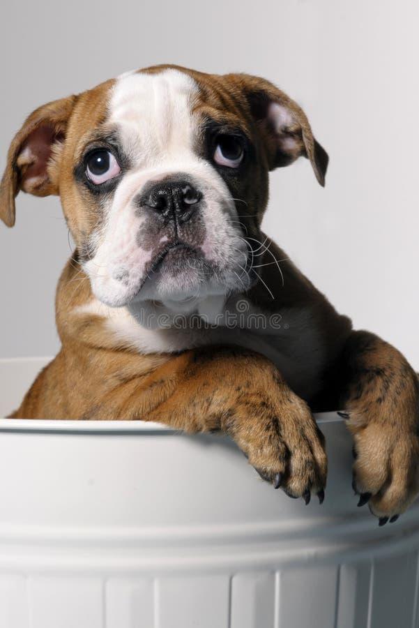 Mannelijk buldogpuppy royalty-vrije stock foto