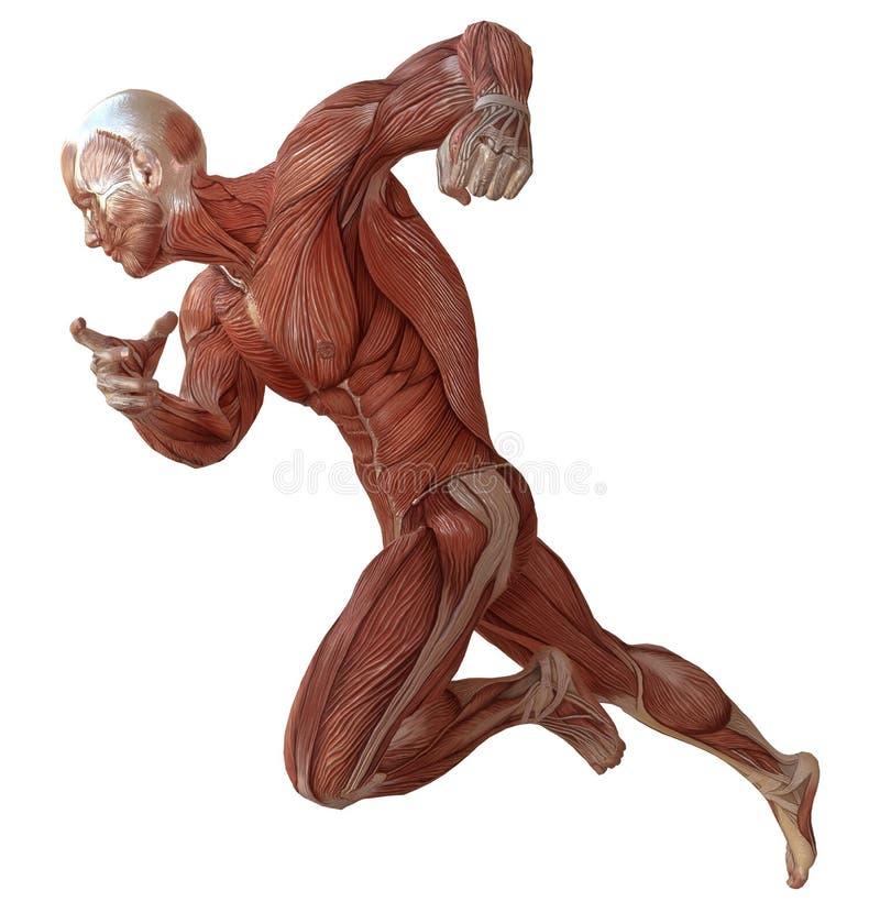 Mannelijk die lichaam zonder huid, anatomie en spieren 3d illustratie op wit wordt geïsoleerd vector illustratie
