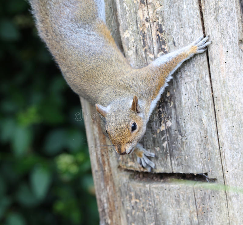 Mannelijk Grey Squirrel royalty-vrije stock fotografie